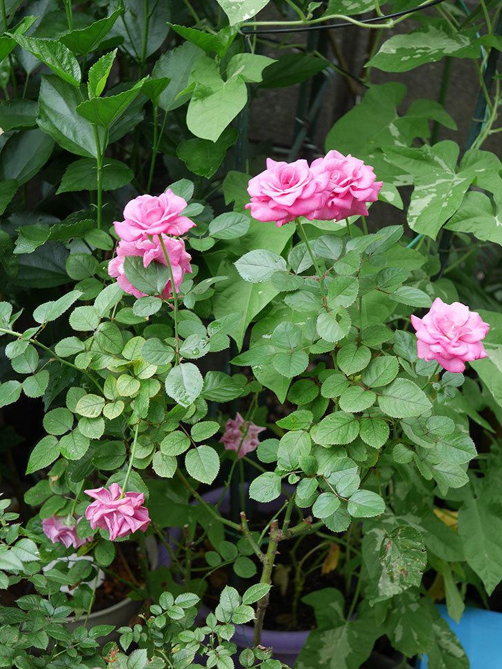 プラムダンディ(Plum Dandy)の2番花がたくさん咲いた。ミニバラ。2020年-010.jpg