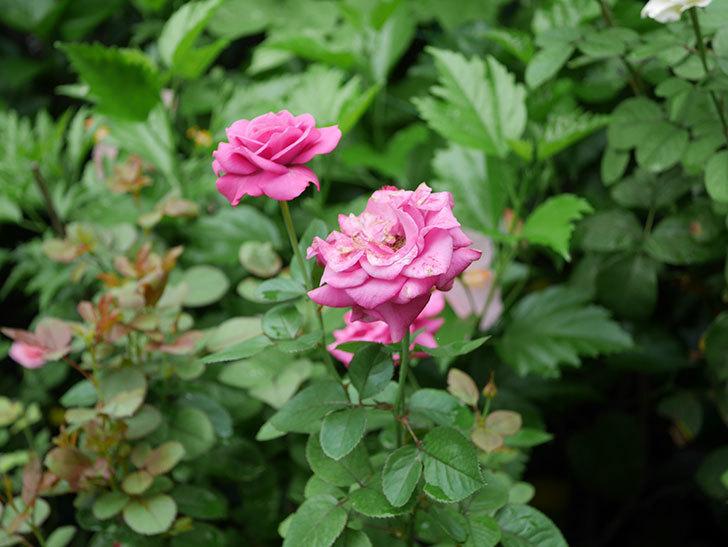 プラムダンディ(Plum Dandy)の2番花がたくさん咲いた。ミニバラ。2020年-014.jpg