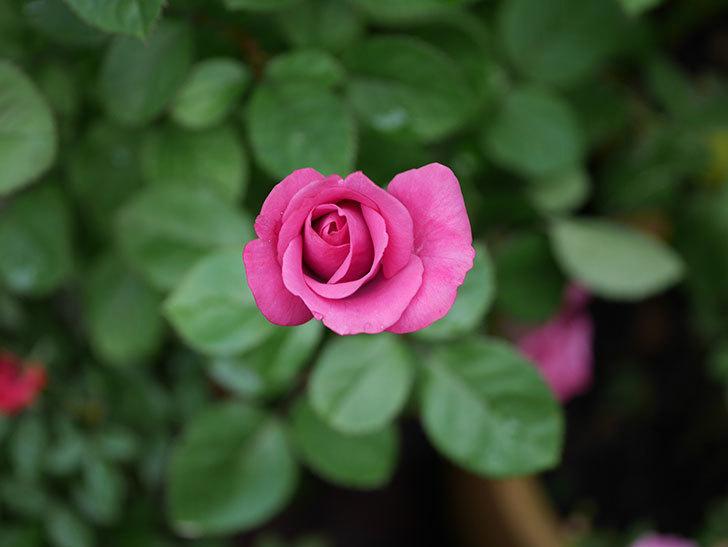 プラムダンディ(Plum Dandy)の2番花がたくさん咲いた。ミニバラ。2020年-015.jpg