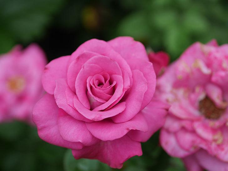 プラムダンディ(Plum Dandy)の2番花がたくさん咲いた。ミニバラ。2020年-016.jpg