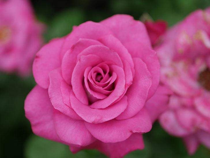 プラムダンディ(Plum Dandy)の2番花がたくさん咲いた。ミニバラ。2020年-017.jpg