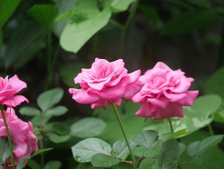 プラムダンディ(Plum Dandy)の2番花がたくさん咲いた。ミニバラ。2020年-018.jpg