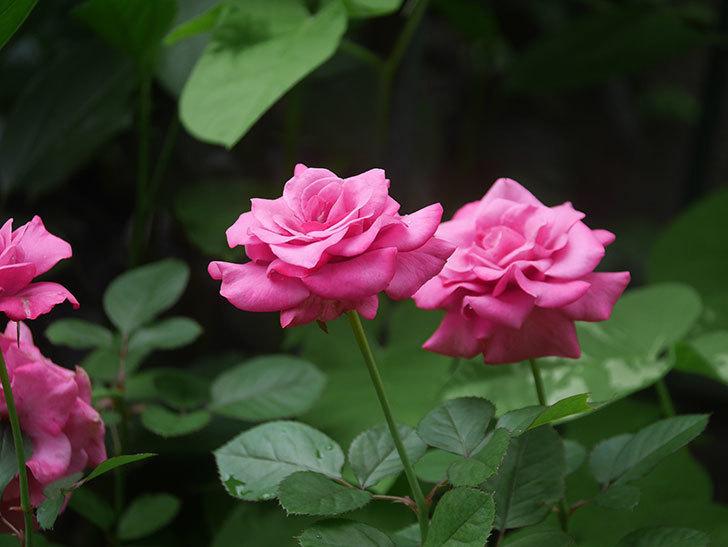 プラムダンディ(Plum Dandy)の2番花がたくさん咲いた。ミニバラ。2020年-019.jpg