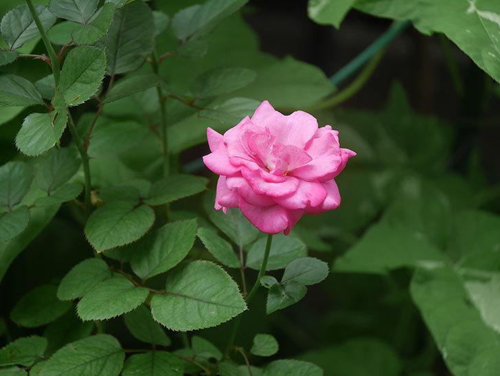 プラムダンディ(Plum Dandy)の2番花がたくさん咲いた。ミニバラ。2020年-020.jpg