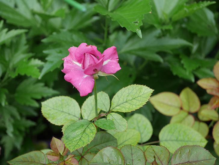 プラムダンディ(Plum Dandy)の2番花が咲いた。ミニバラ。2020年-005.jpg