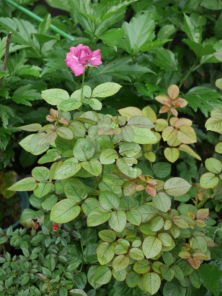 プラムダンディ(Plum Dandy)の2番花が咲いた。ミニバラ。2020年-006.jpg