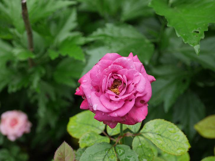 プラムダンディ(Plum Dandy)の2番花が咲いた。ミニバラ。2020年-007.jpg