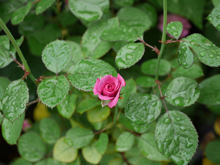 プラムダンディ(Plum Dandy)の2番花が増えてきた。ミニバラ。2020年-001.jpg