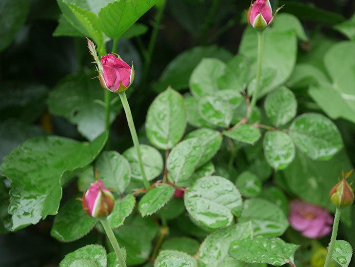 プラムダンディ(Plum Dandy)の2番花が増えてきた。ミニバラ。2020年-002.jpg