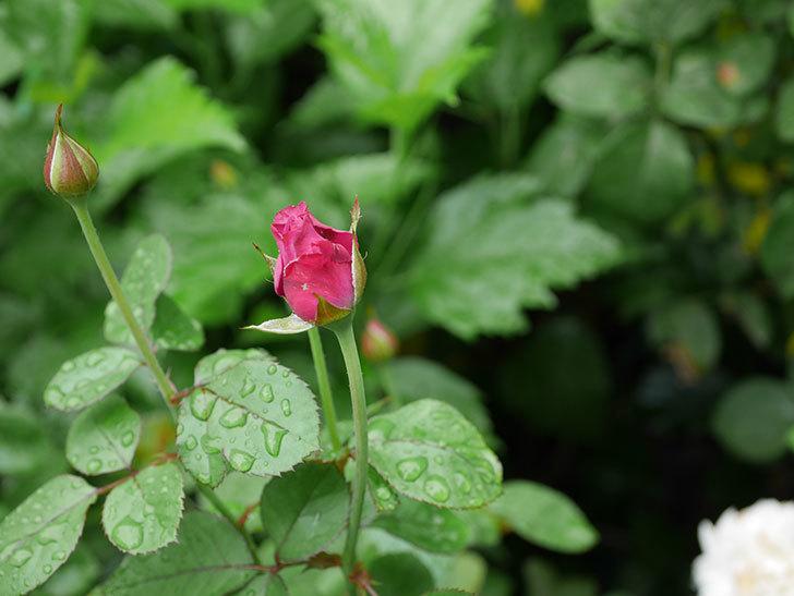 プラムダンディ(Plum Dandy)の2番花が増えてきた。ミニバラ。2020年-006.jpg