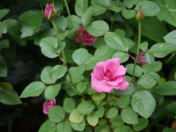プラムダンディ(Plum Dandy)の2番花が増えてきた。ミニバラ。2020年-007.jpg