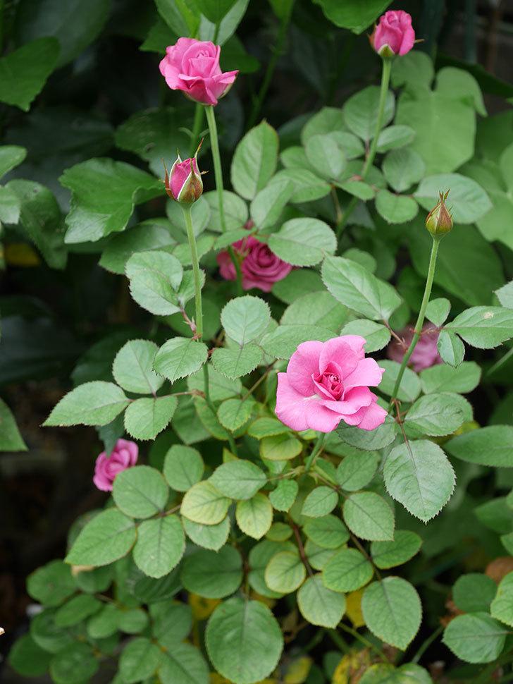 プラムダンディ(Plum Dandy)の2番花が増えてきた。ミニバラ。2020年-008.jpg