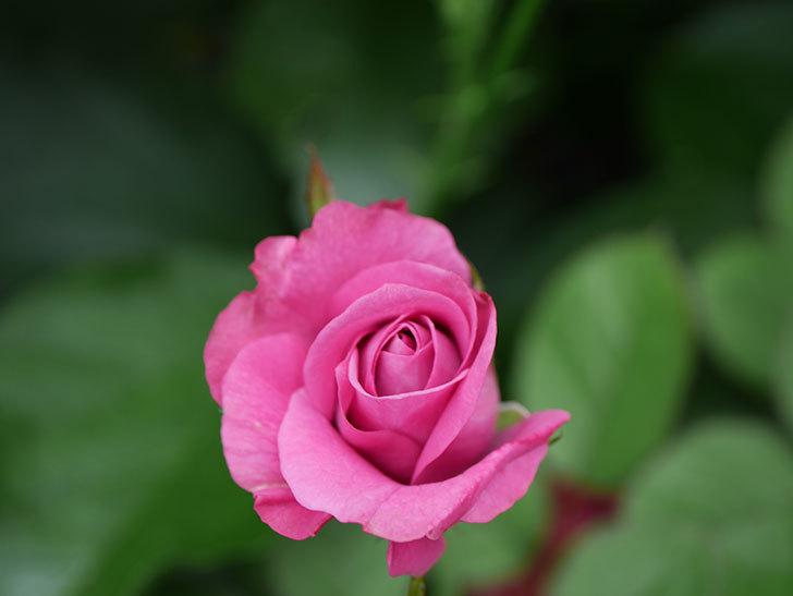 プラムダンディ(Plum Dandy)の2番花が増えてきた。ミニバラ。2020年-010.jpg