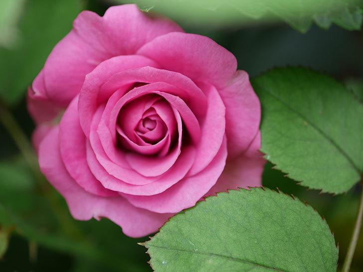 プラムダンディ(Plum Dandy)の2番花が増えてきた。ミニバラ。2020年-013.jpg