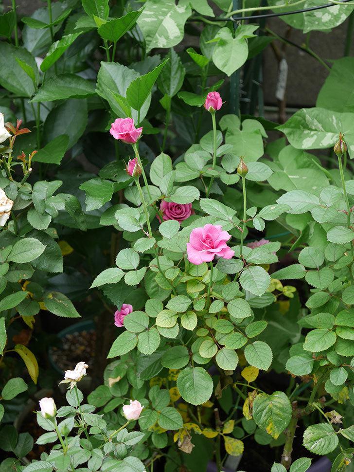 プラムダンディ(Plum Dandy)の2番花が増えてきた。ミニバラ。2020年-014.jpg