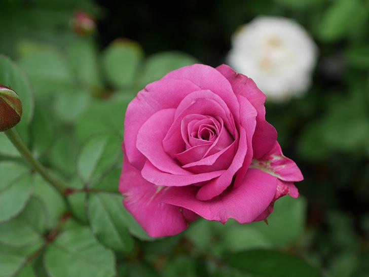 プラムダンディ(Plum Dandy)の2番花が増えてきた。ミニバラ。2020年-016.jpg