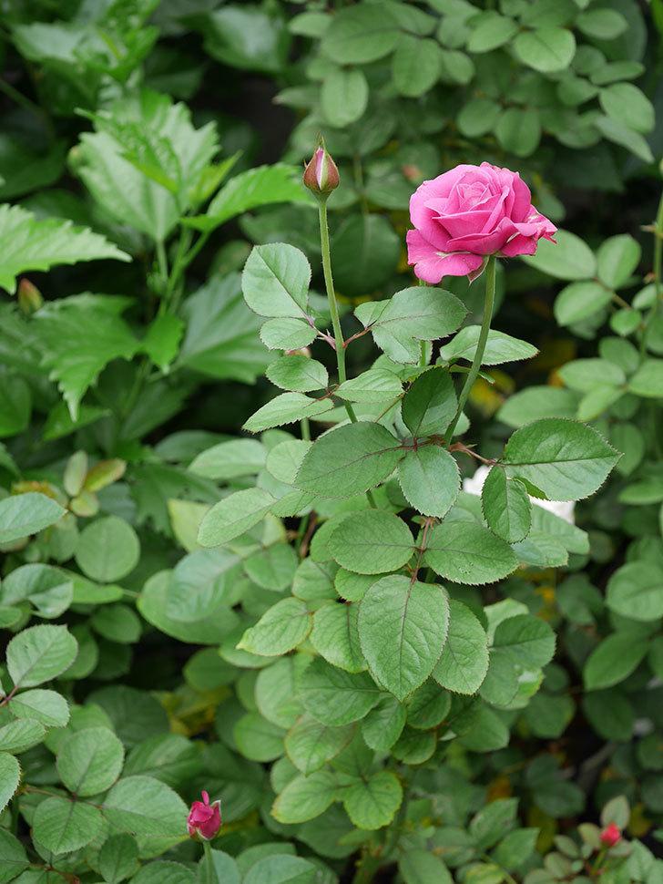 プラムダンディ(Plum Dandy)の2番花が増えてきた。ミニバラ。2020年-017.jpg