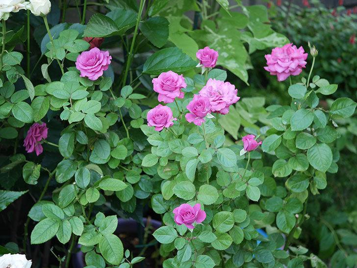 プラムダンディ(Plum Dandy)の夏花が咲いた。ミニバラ。2020年-001.jpg