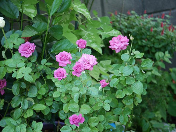 プラムダンディ(Plum Dandy)の夏花が咲いた。ミニバラ。2020年-002.jpg