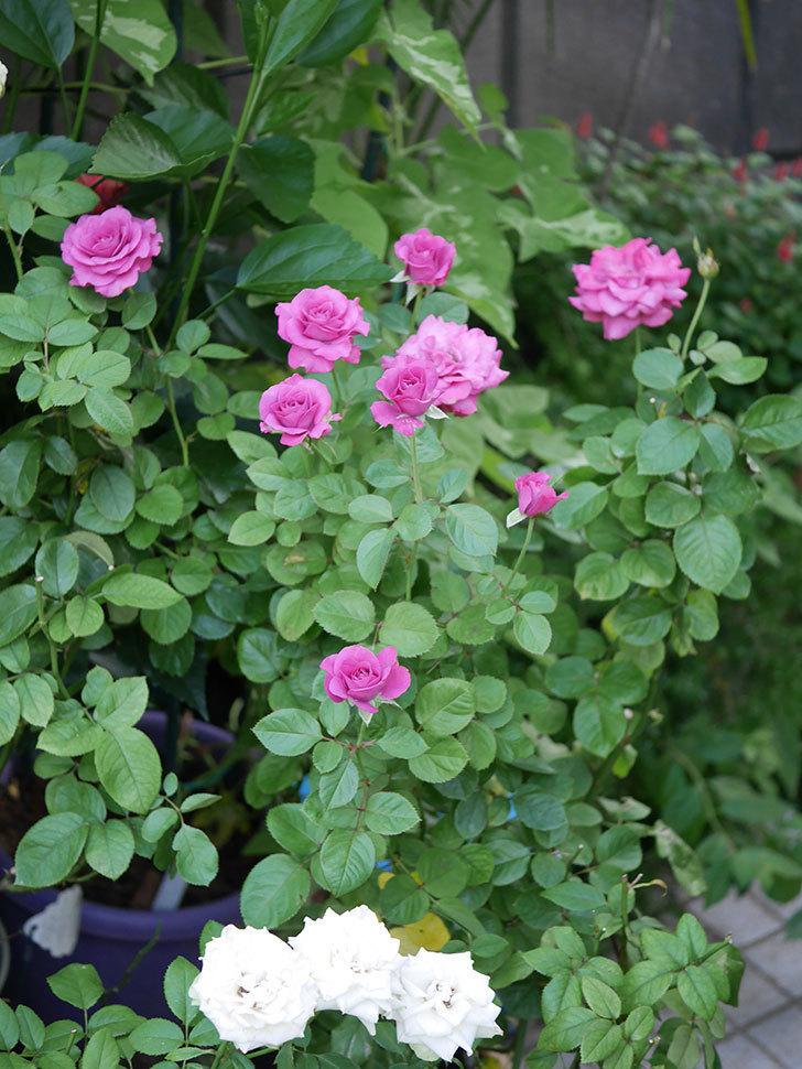 プラムダンディ(Plum Dandy)の夏花が咲いた。ミニバラ。2020年-003.jpg