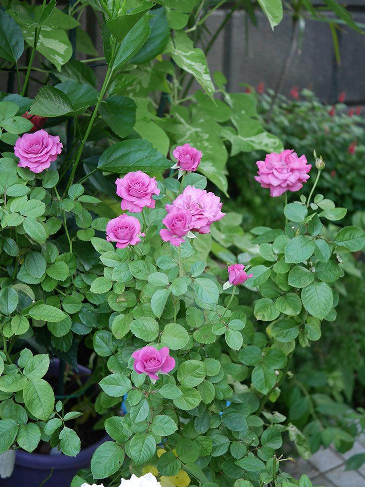プラムダンディ(Plum Dandy)の夏花が咲いた。ミニバラ。2020年-004.jpg