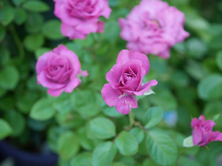 プラムダンディ(Plum Dandy)の夏花が咲いた。ミニバラ。2020年-005.jpg
