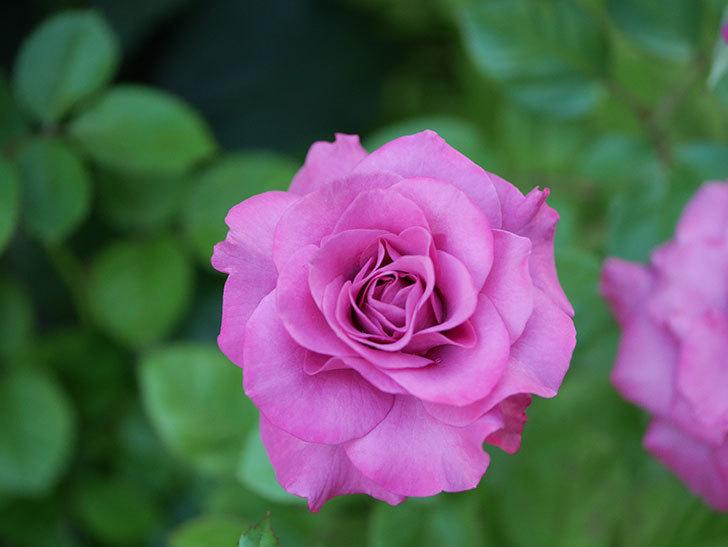 プラムダンディ(Plum Dandy)の夏花が咲いた。ミニバラ。2020年-006.jpg