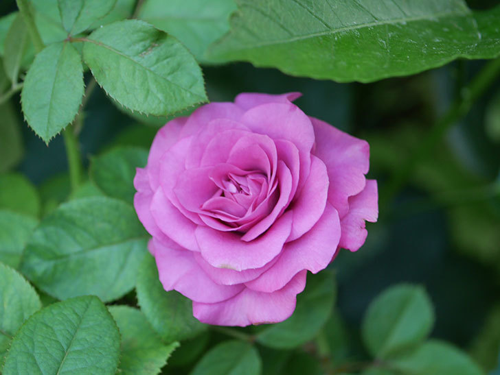 プラムダンディ(Plum Dandy)の夏花が咲いた。ミニバラ。2020年-007.jpg