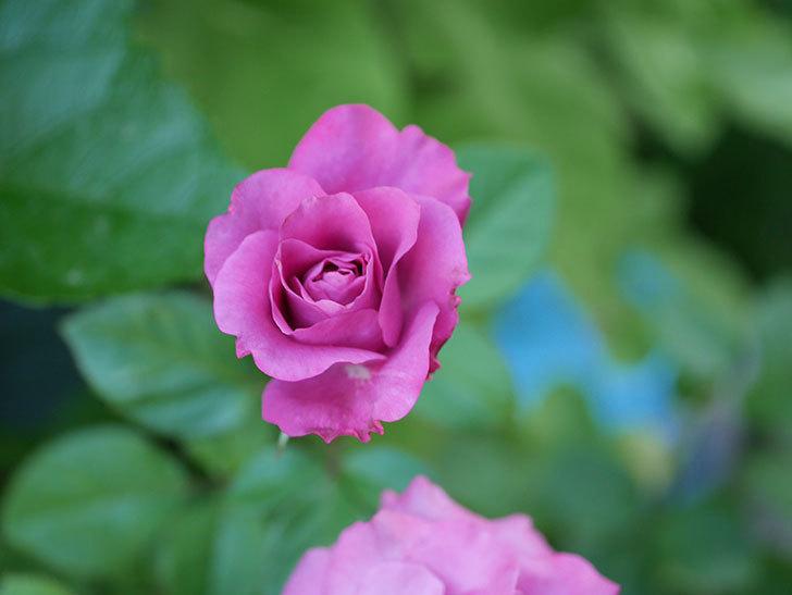 プラムダンディ(Plum Dandy)の夏花が咲いた。ミニバラ。2020年-008.jpg