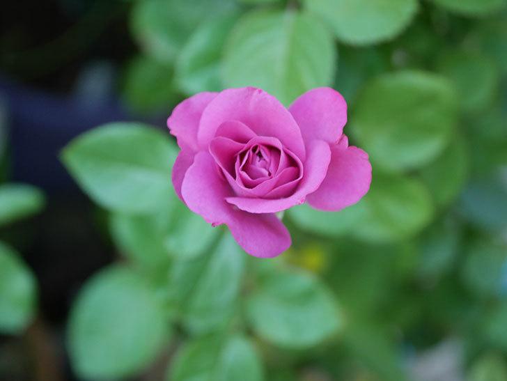 プラムダンディ(Plum Dandy)の夏花が咲いた。ミニバラ。2020年-009.jpg