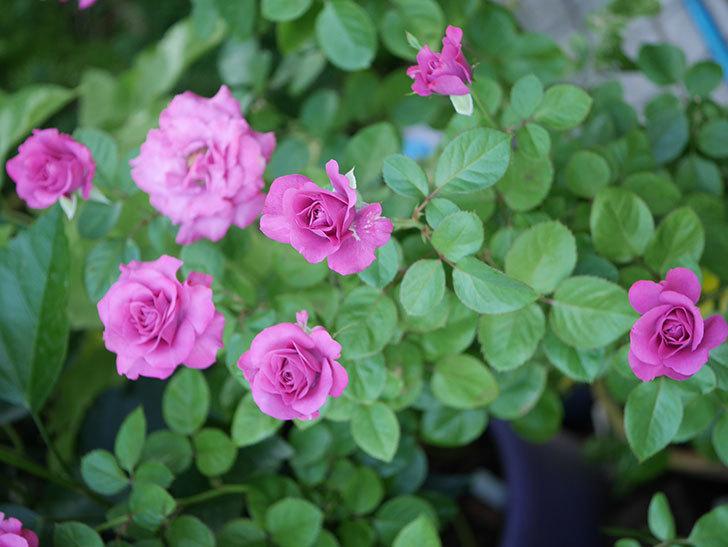 プラムダンディ(Plum Dandy)の夏花が咲いた。ミニバラ。2020年-010.jpg