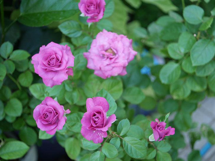 プラムダンディ(Plum Dandy)の夏花が咲いた。ミニバラ。2020年-012.jpg
