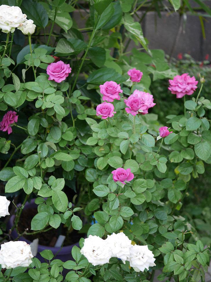 プラムダンディ(Plum Dandy)の夏花が咲いた。ミニバラ。2020年-013.jpg