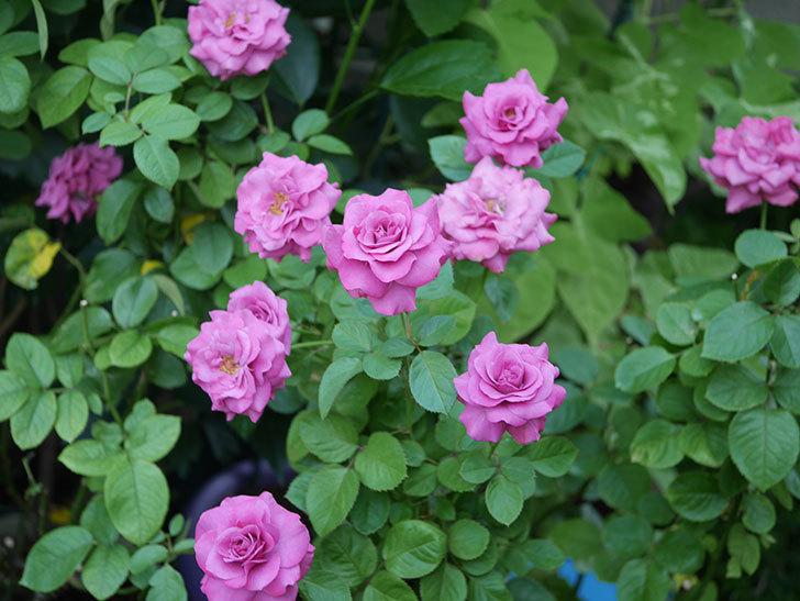 プラムダンディ(Plum Dandy)の夏花が咲いた。ミニバラ。2020年-014.jpg