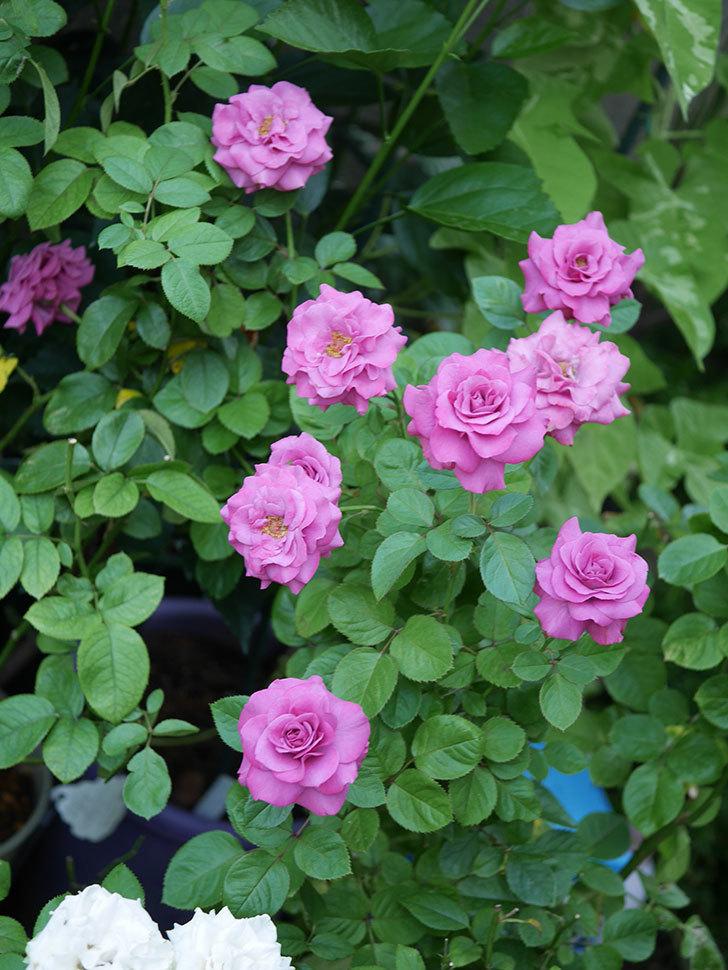 プラムダンディ(Plum Dandy)の夏花が咲いた。ミニバラ。2020年-015.jpg