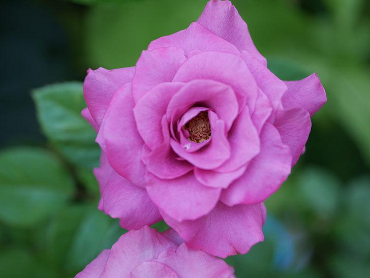プラムダンディ(Plum Dandy)の夏花が咲いた。ミニバラ。2020年-019.jpg