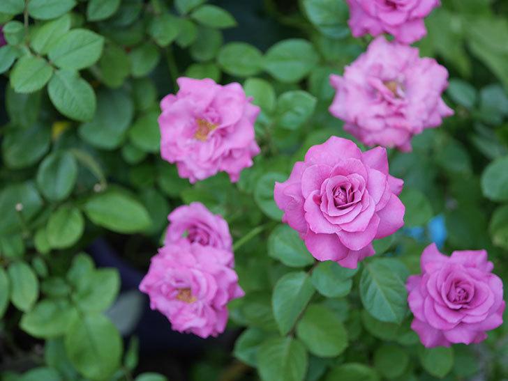 プラムダンディ(Plum Dandy)の夏花が咲いた。ミニバラ。2020年-020.jpg