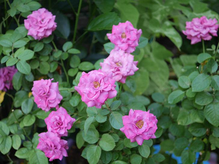 プラムダンディ(Plum Dandy)の夏花が咲いた。ミニバラ。2020年-021.jpg