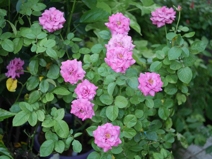 プラムダンディ(Plum Dandy)の夏花が咲いた。ミニバラ。2020年-022.jpg