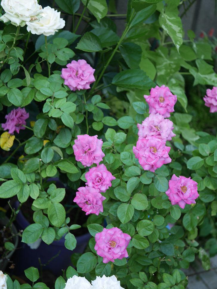プラムダンディ(Plum Dandy)の夏花が咲いた。ミニバラ。2020年-023.jpg