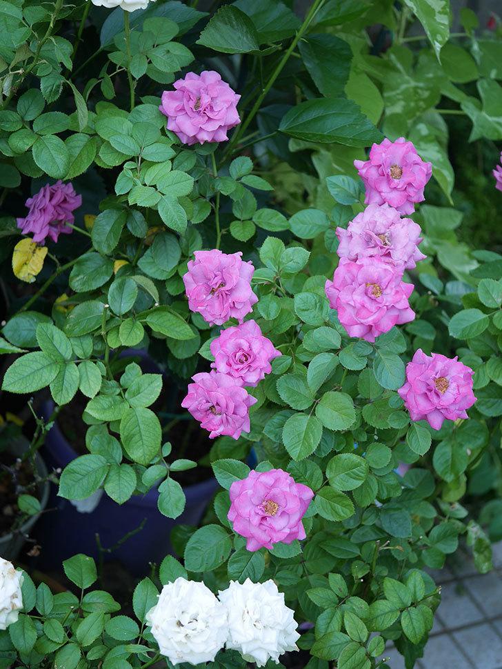 プラムダンディ(Plum Dandy)の夏花が咲いた。ミニバラ。2020年-024.jpg