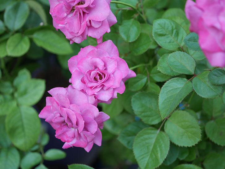 プラムダンディ(Plum Dandy)の夏花が咲いた。ミニバラ。2020年-025.jpg