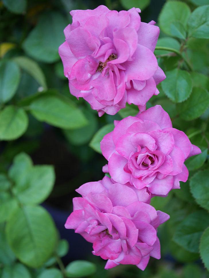 プラムダンディ(Plum Dandy)の夏花が咲いた。ミニバラ。2020年-026.jpg