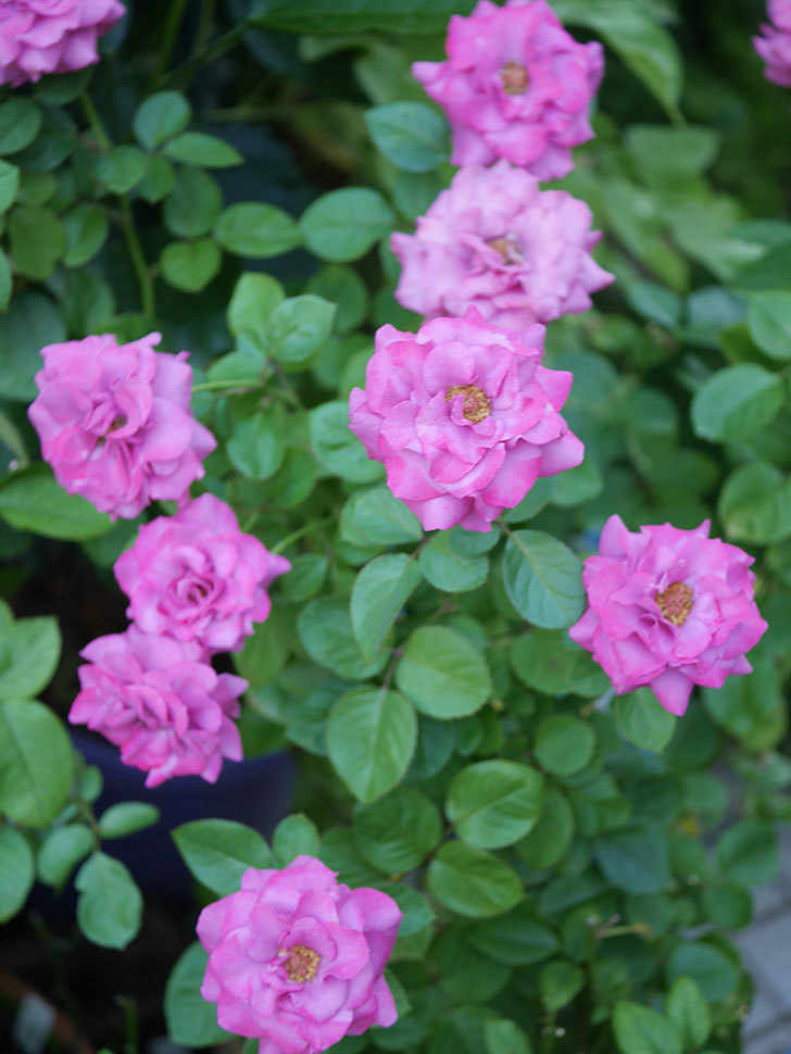 プラムダンディ(Plum Dandy)の夏花が咲いた。ミニバラ。2020年-027.jpg