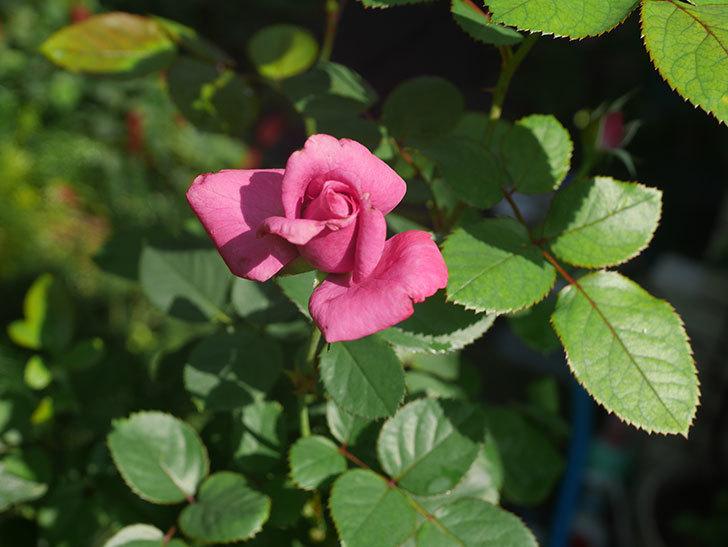 プラムダンディ(Plum Dandy)の秋花が咲いた。ミニバラ。2020年-001.jpg