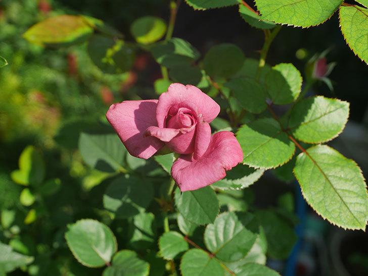 プラムダンディ(Plum Dandy)の秋花が咲いた。ミニバラ。2020年-002.jpg