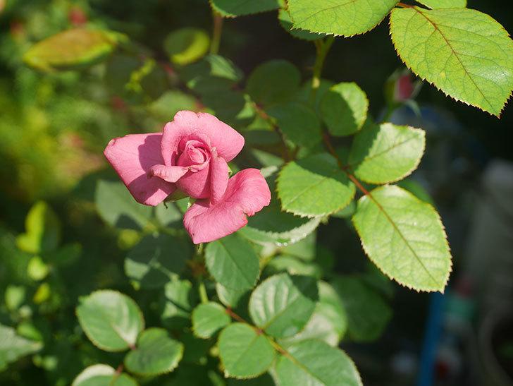 プラムダンディ(Plum Dandy)の秋花が咲いた。ミニバラ。2020年-003.jpg