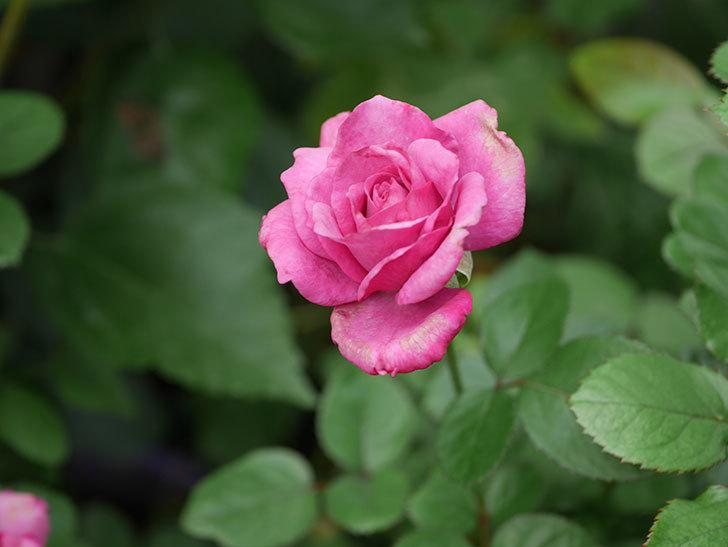 プラムダンディ(Plum Dandy)の秋花が咲いた。ミニバラ。2020年-004.jpg
