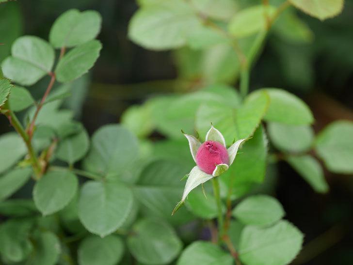 プラムダンディ(Plum Dandy)の秋花が咲いた。ミニバラ。2020年-006.jpg