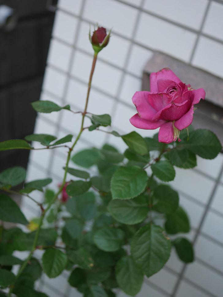 プラムダンディ(Plum Dandy)の秋花が綺麗に咲いた。ミニバラ。2020年-004.jpg